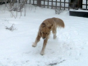 Honey the golden retriever plays in snow.