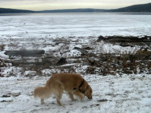 Honey the golden retriever sniffs at Cayuga Lake shore.