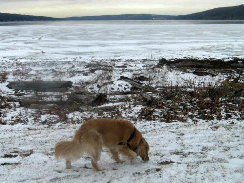 Honey the golden retriever sniffs at Cayuga Lake shore.