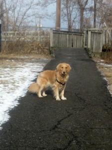 Honey the golden retriever on an off-leash walk.
