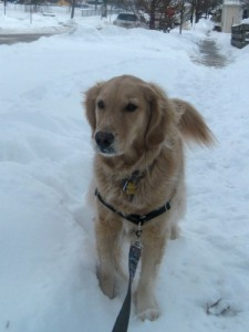 Honey the golden retriever walks in the snow.