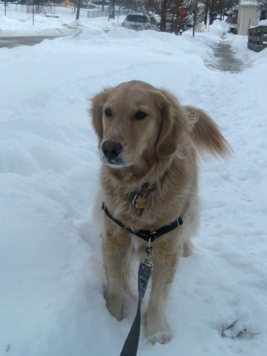 Honey the golden retriever walks in the snow.