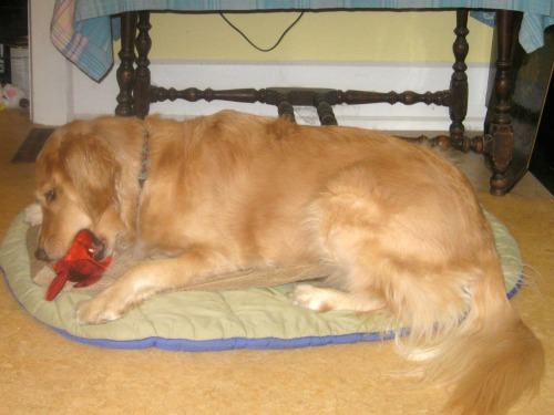 Honey the golden retriever chews a squeaky toy.