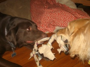 Honey the golden retriever plays tug with chocolate lab Mr. Handsome.