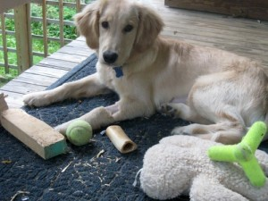 Honey the golden retriever in recovery.