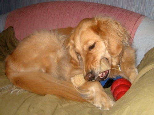 Honey the golden retriever chews her nylabone.