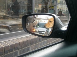 Honey the golden retriever from the sideview mirror at a fast food drive thru.