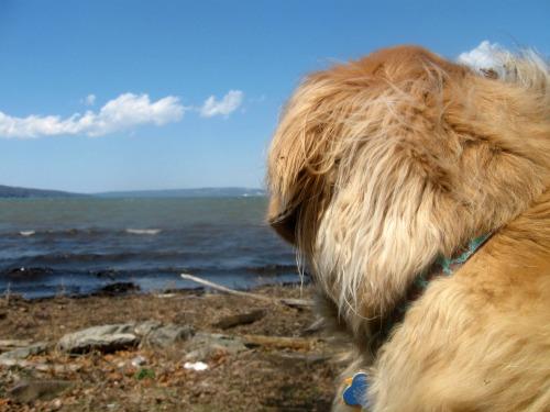 Honey the golden retriever looks at the lake.