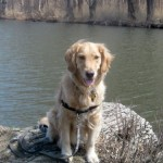 Honey the golden retriever on the river.