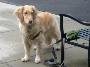 Honey the golden retriever is tied to a bench.