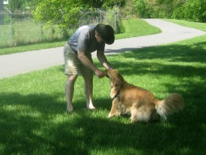 Honey the golden retriever wrestles with Mike for a stick.