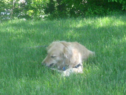 Honey the golden retriever chews a stick.