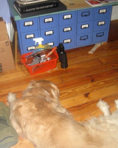 Honey the golden retriever sleeps on  the floor.