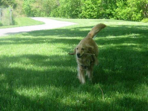 Honey the golden retriever retrieves a stick.