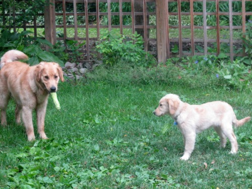 Honey the golden retriever looks at Riley with toy.