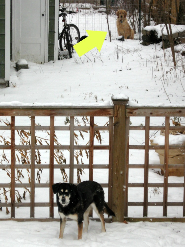 Riley watches Shadow through the fence.