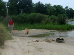Honey the golden retriever runs at the water's edge.