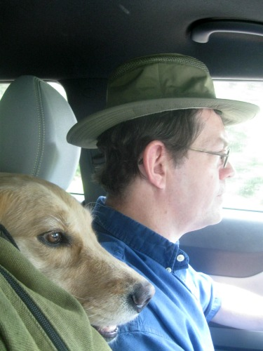 Honey the golden retriever rides in the car.