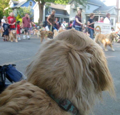 Honey the golden retriever sees something interesting at the Ithaca Festival parade.