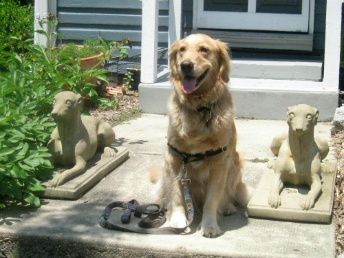 Honey the golden retriever sits with stoned dogs.