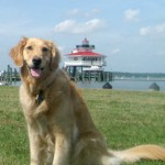 Honey the golden retriever at Cambridge lighthouse.