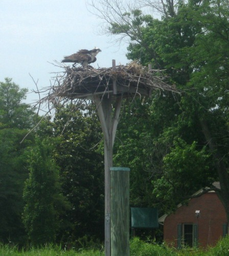 Osprey nest in the Choptank river.