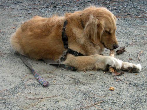 Honey the golden retriever chews a stick.