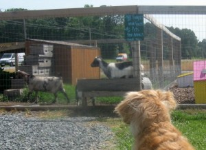 Honey the golden retriever fixates on goats.