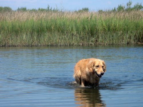 Honey the golden retriever wades in the marsh at Janes Island State Park.
