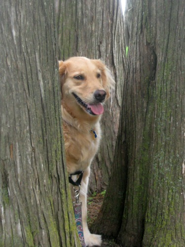 Honey the golden retriever in trees.