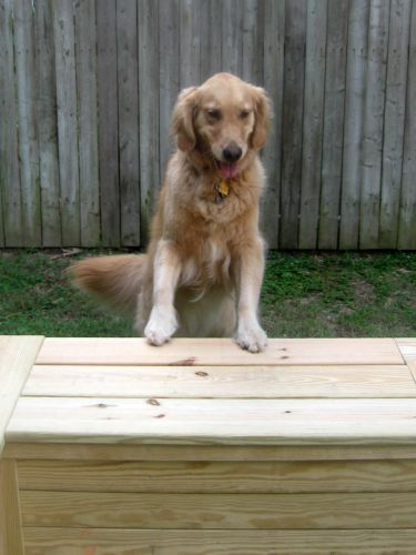 Honey the golden retriever stands on a bench.
