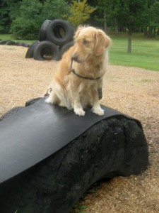 Honey the golden retriever hears something on the tire.