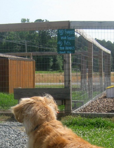 Honey the golden retriever is fixated on something.