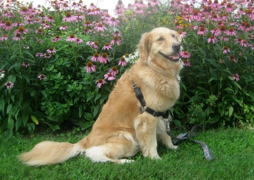 Honey the golden retriever with flowers.