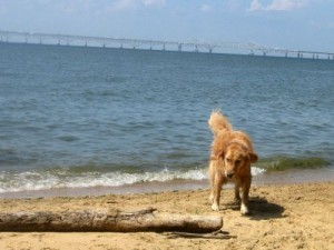 Honey the golden retriever looks at a log.