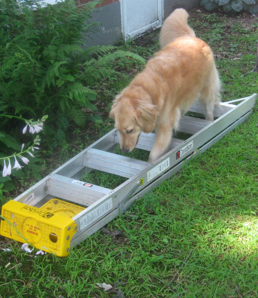 Honey the golden retriever walks on a ladder.
