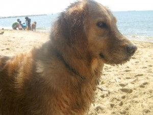 Honey the golden retriever has sand on her face.