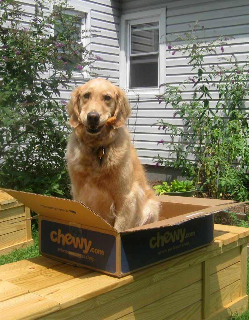 Honey the golden retriever sits in a box.