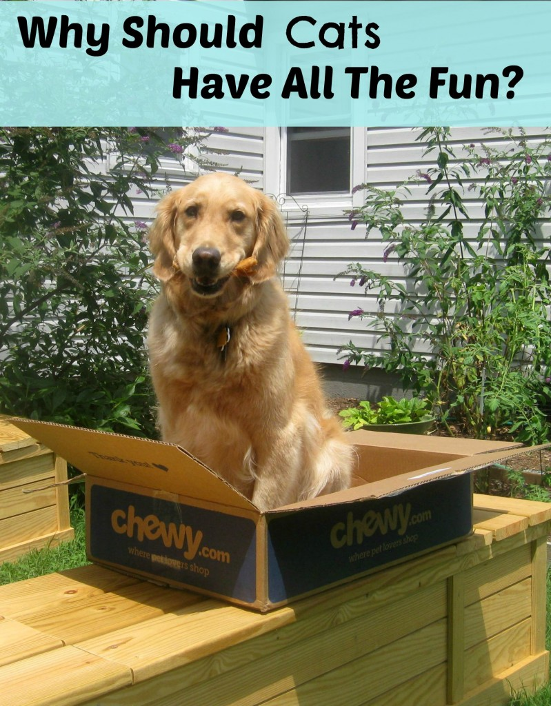 A golden retriever in a box asks why cats should have all the fun.