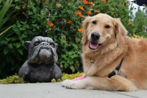 Honey the golden retriever poses with stone bull dog.