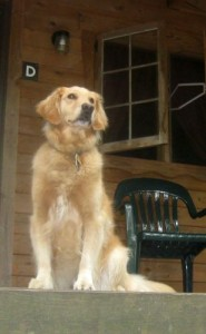 Honey the golden retriever only talks to big dogs.