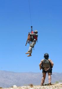 U.S. Army working dog in harness.