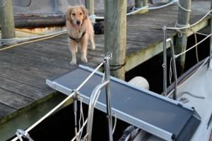 Honey the golden retriever approaches her boat boarding ramp.