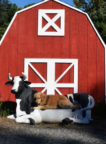 Honey the golden retriever lies on a fiberglass cow.
