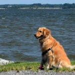 Honey the golden retriever created a small craft advisory.