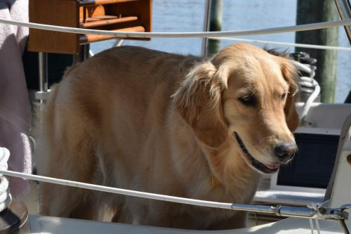 Honey the golden retriever wants to go ashore.