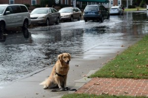 Honey the golden retriever with high tide on Water Street.