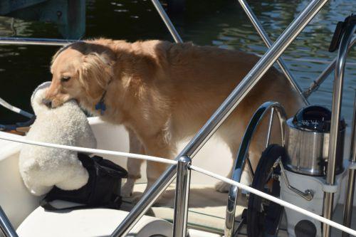 Honey the golden retriever teachers her bear to swim on the sailboat.