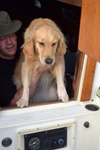Honey the golden retriever puts her paws up and goes into the cockpit of the sailboat.