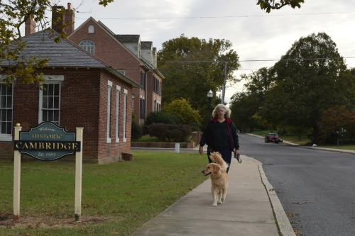 Honey the golden retriever walks off leash in Cambridge.